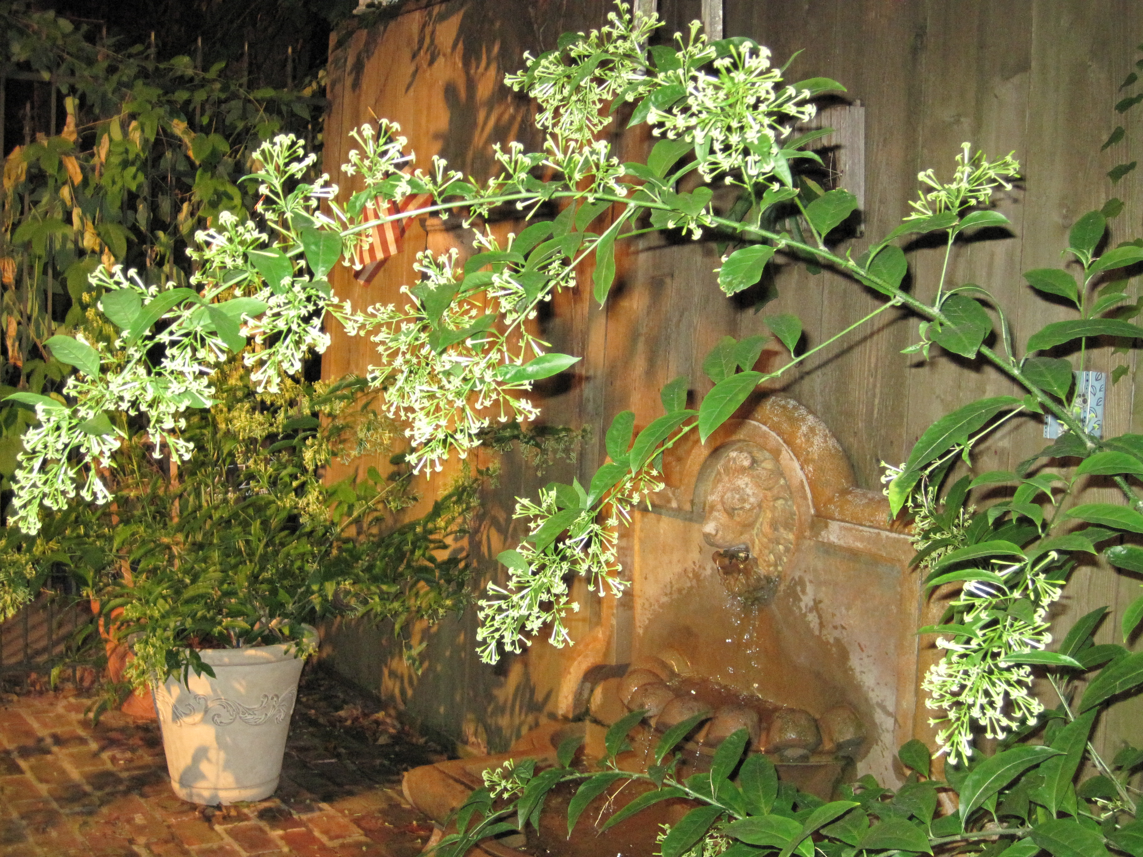 The thrill of night blooming jasmine when food works if izmirmasajfo
